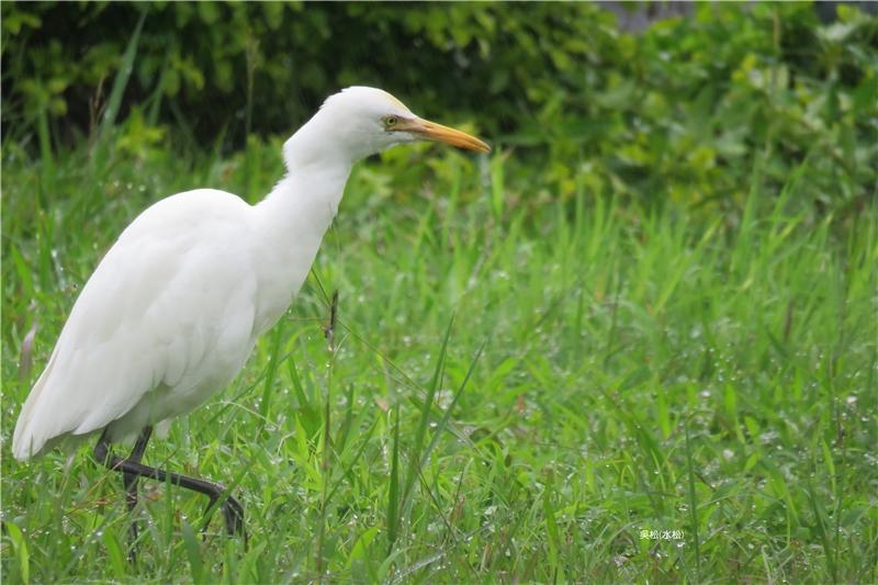 鳥-黃頭鷺
